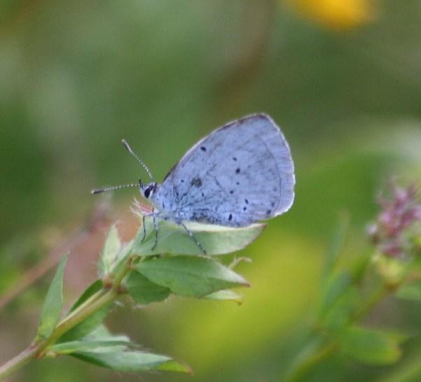 holly-blue-23-july-2009-long-pond-9-cd366733c668495e684d9630ec5ea78115bf3d3b
