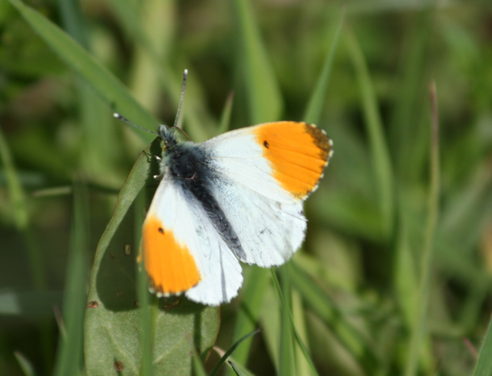 orange-tip-gillies-may-2010-2924429f426fca204e53e459c56f4a74d270a6d2