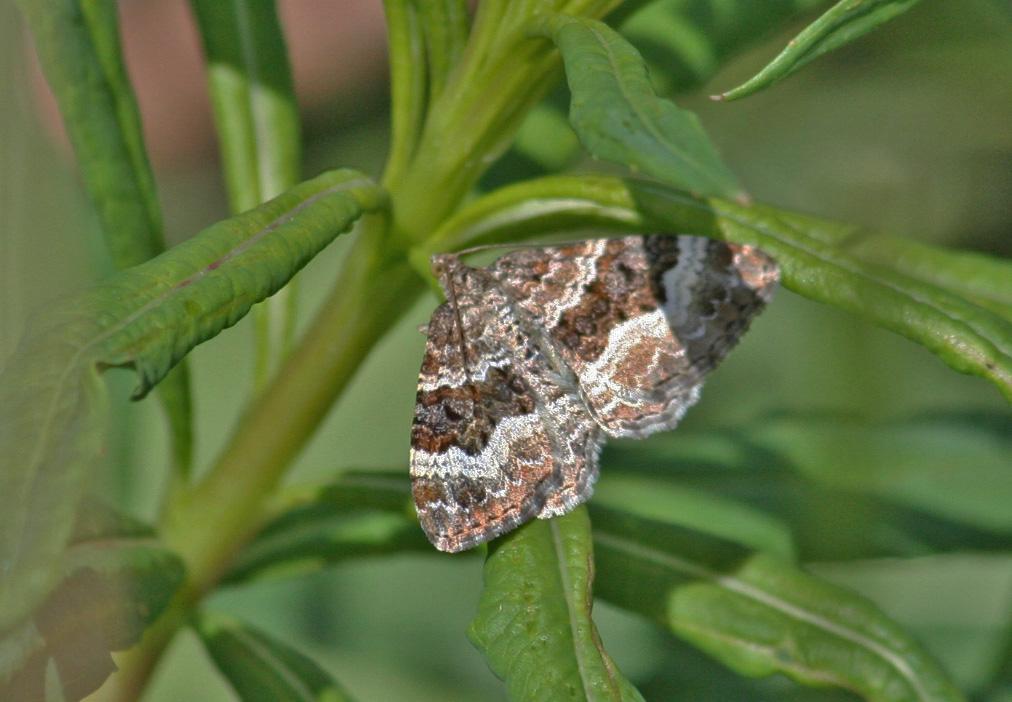 red-twin-spot-carpet-moth-ab91364b11623ec5c8c1b98cc8a8931282816efd