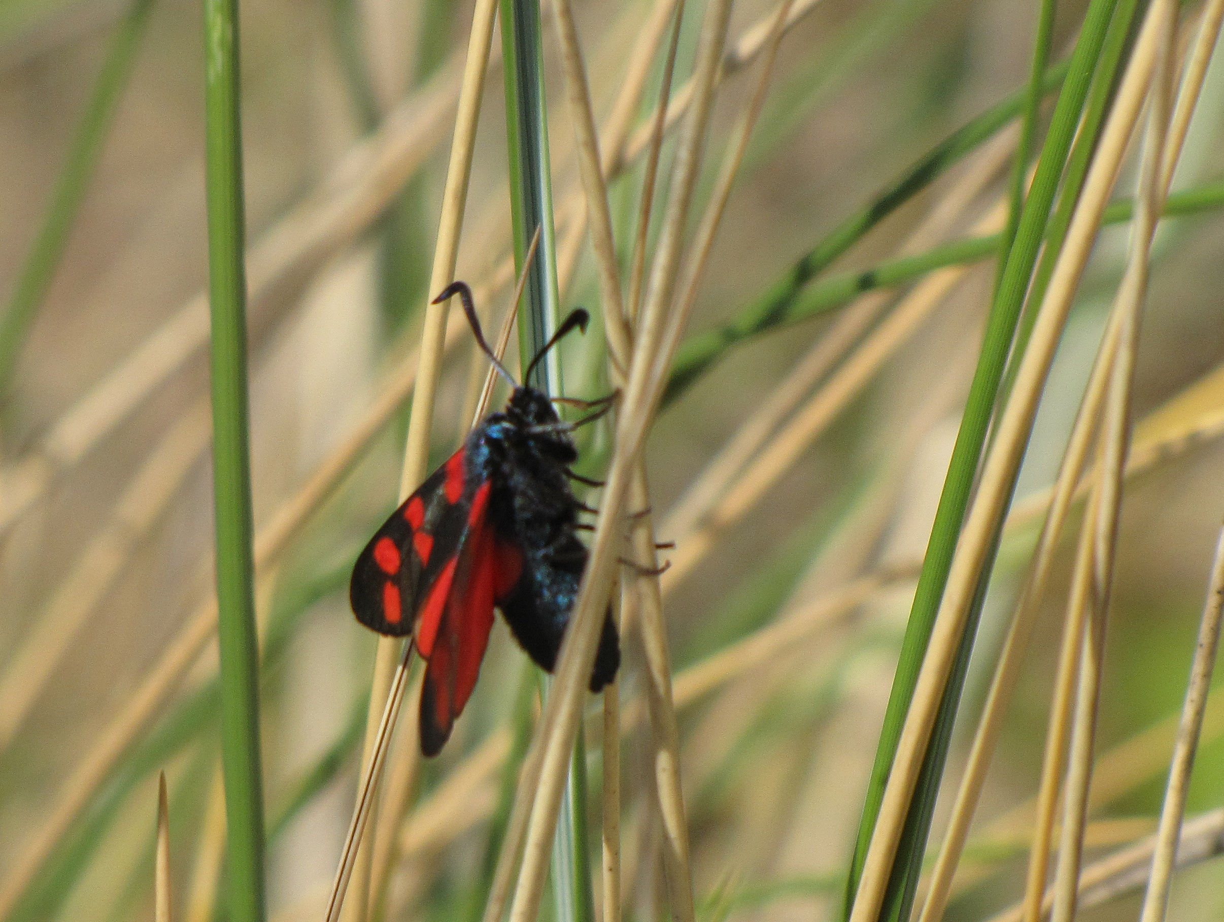 six-spot-burnet-walney