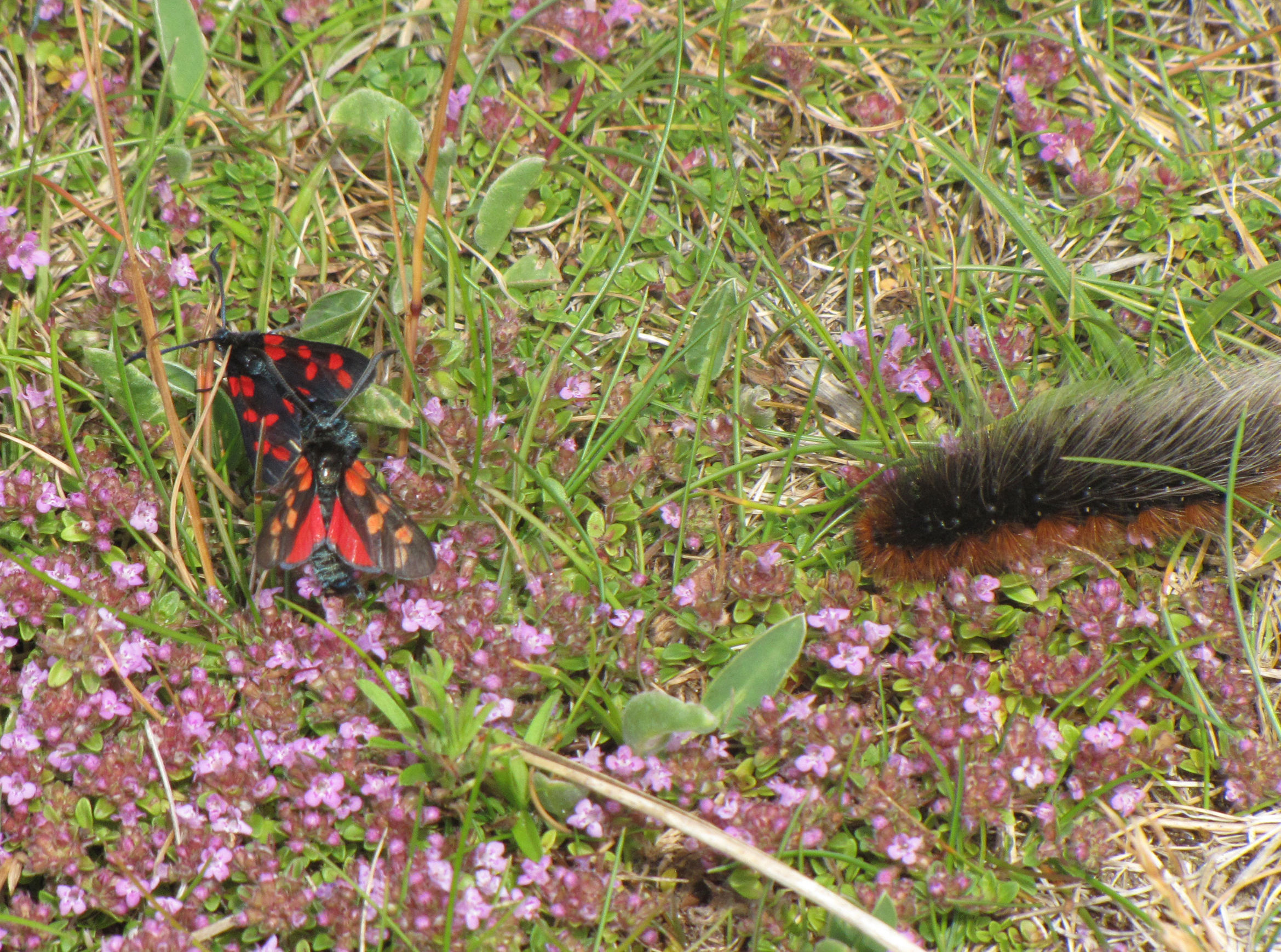 six-spot-burnets-and-garden-tiger-moth-walney