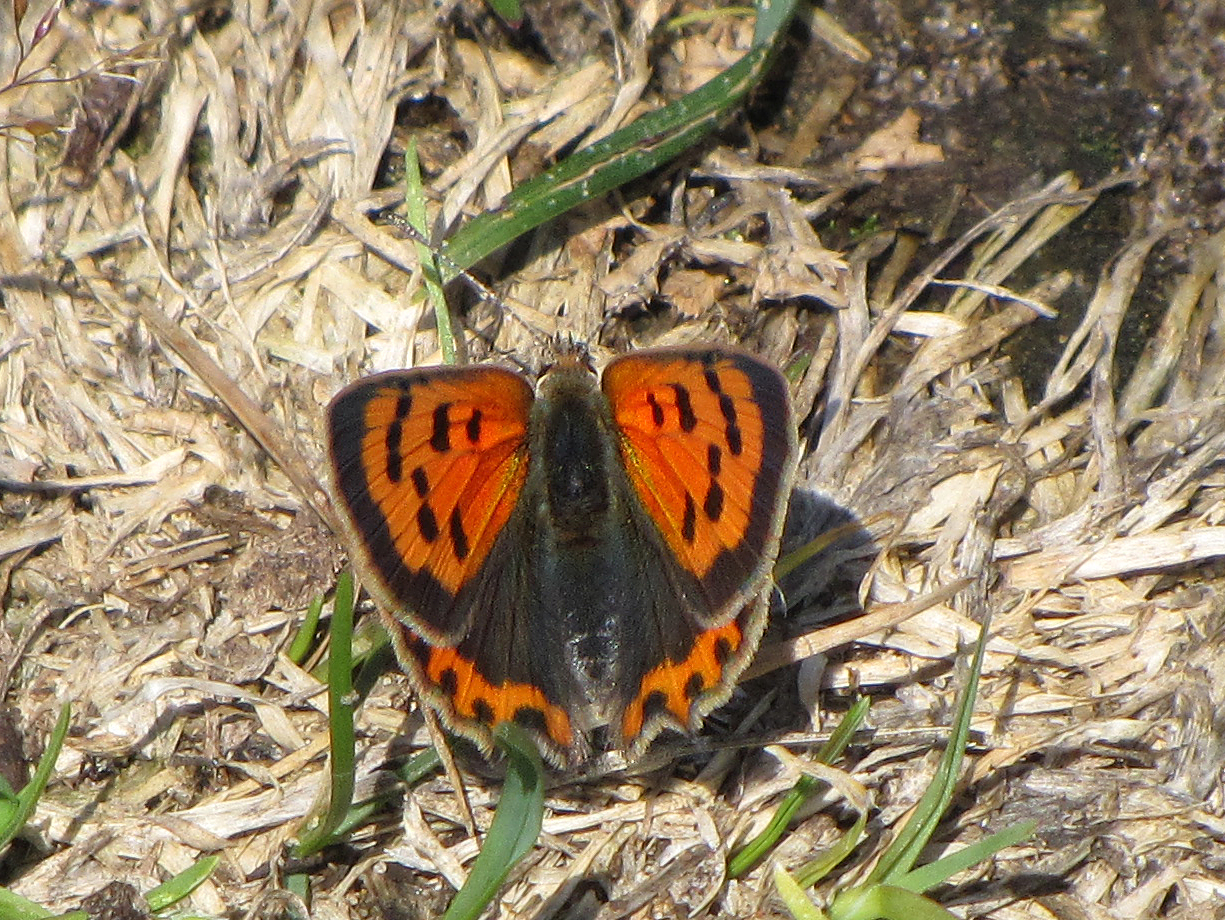 small-copper-walney