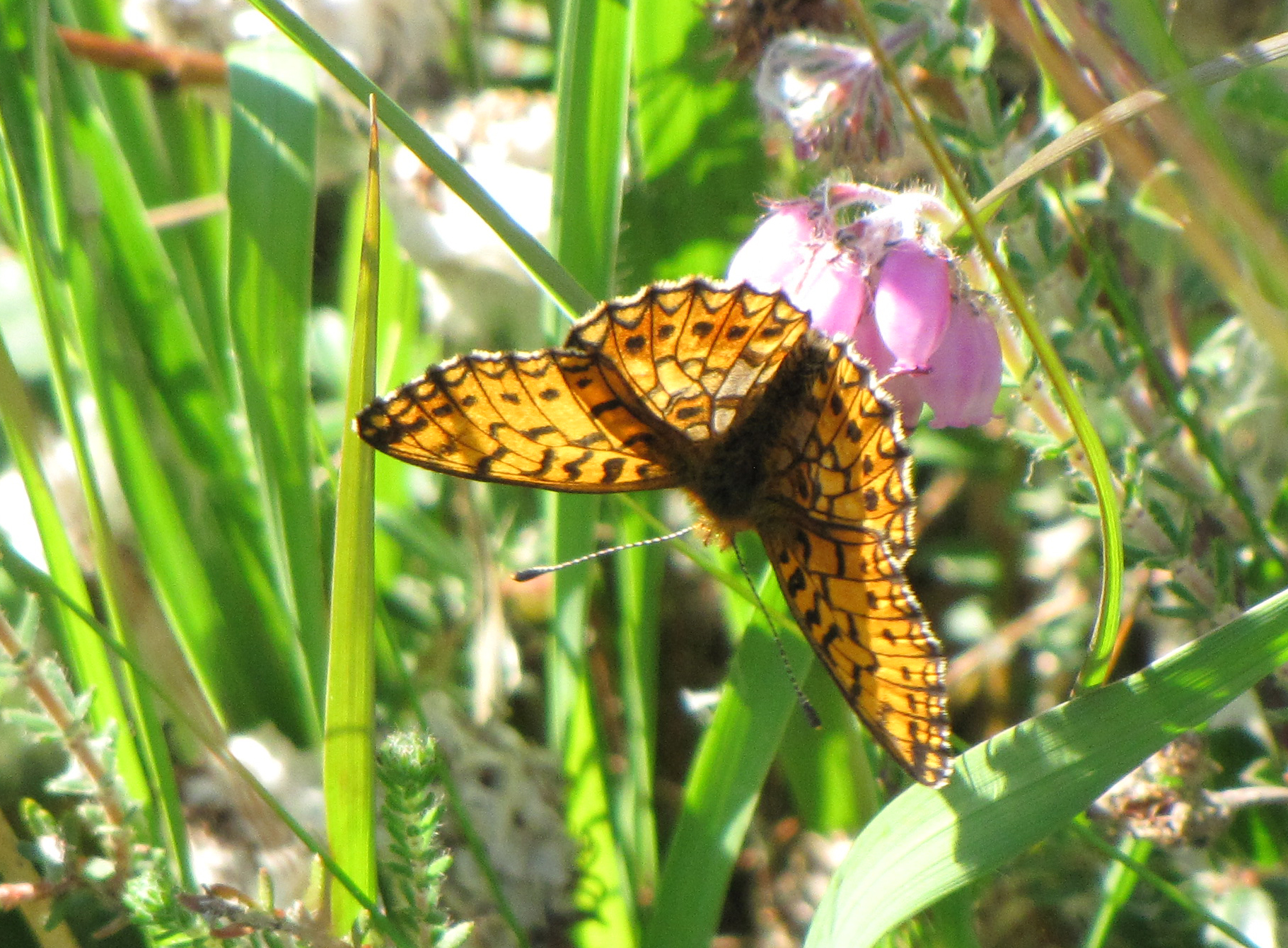 small-pearl-bordered-fritillary-walney