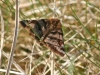 dingy-skipper-may-2010-1-54461f941e7b6952615642817da8308e1ee74593