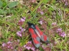 five-spot-burnet-confluent-form-walney