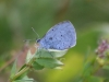 holly-blue-23-july-2009-long-pond-9-cd366733c668495e684d9630ec5ea78115bf3d3b