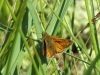 large-skipper-walney3