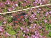 six-spot-burnet-walney2