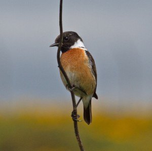 001 male stonechat