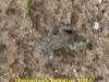 img_2312-natterjack-toadlet-1-1-4523602458079e9f03c0b39170ee01f277be2a16