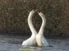 010-mating-swans-north-end-of-walney-1-1-f4995c0ac0fb4ca218d89fcae6bb198b44b94db5