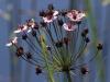 035-flowering-rush-copy1-1-a798087537f7be0b4eea32e12be7d600091967cb