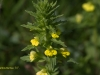 yellow-bartsia