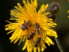 012-bee-and-hoverflies-on-sow-thistle-1-1-2c9de1e1c81719c055799239c032e447211d8bcb