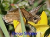 dingy-skipper-28-may-2010-1-2257f93258f027996652a2e0e3dd7a9771a9e860