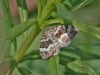 red-twin-spot-carpet-moth-c3e6bb0cf7c7bfb655377a8d5452913cc6c1231e